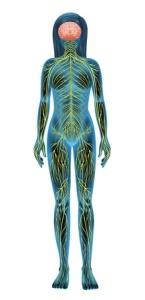 16988199 - illustration of the human nervous system