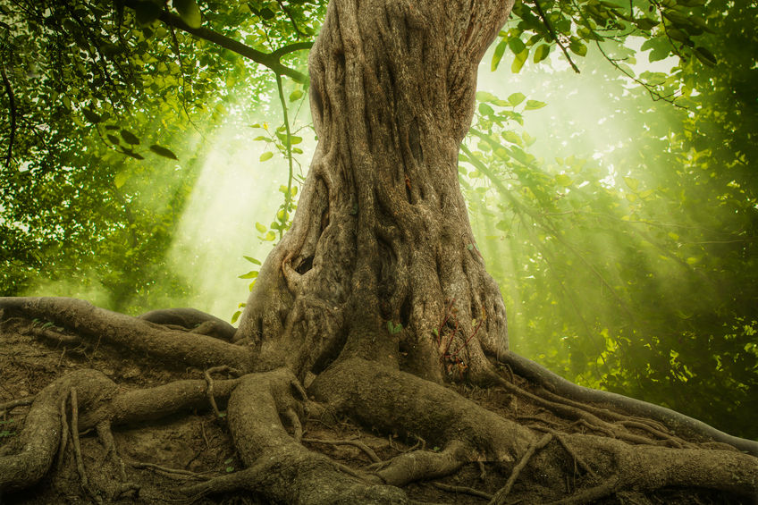 40630695 - big tree roots and sunshine in a green forest